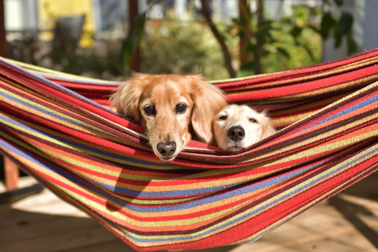 ハンモックで遊ぶ二匹の犬