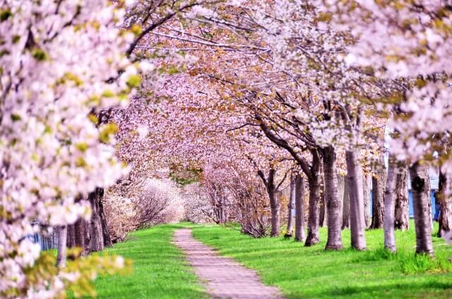桜と新緑のトンネル